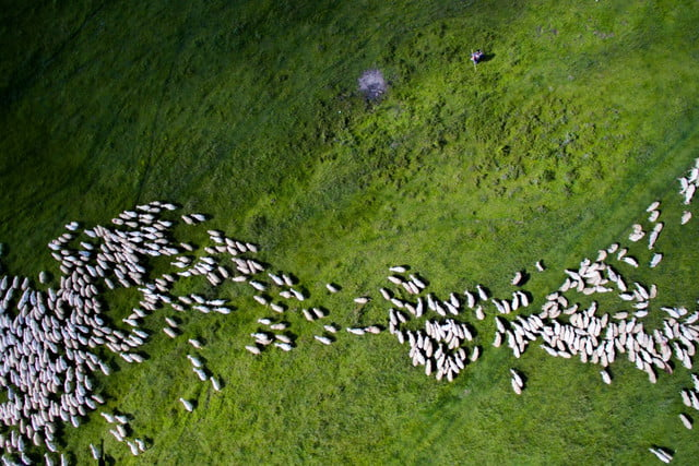dronestagram best of 2016 swarm sheep by thedon